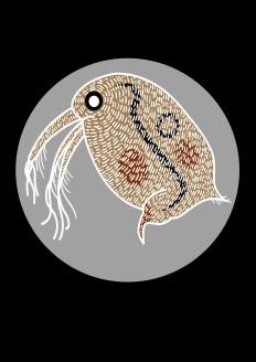 13-water flea